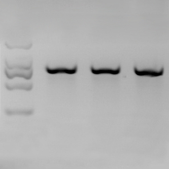 Monkeys Modified with Genome Editing - Technology Review | Genetics | Scoop.it
