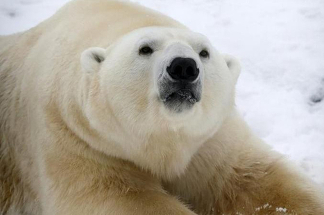 Des scientifiques retenus prisonniers par dix ours polaires | terres en rive du monde | Scoop.it