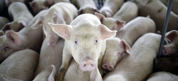 "Reporting Factory Farms Abuses to Be Considered ""Act of Terrorism"" If New Laws Pass 