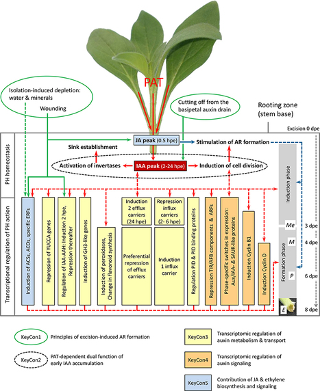 Plant Hormone Homeostasis, Signaling, and Function during Adventitious Root Formation in Cuttings | Frontiers in Plant Science | Plant Gene Seeker -PGS | Scoop.it