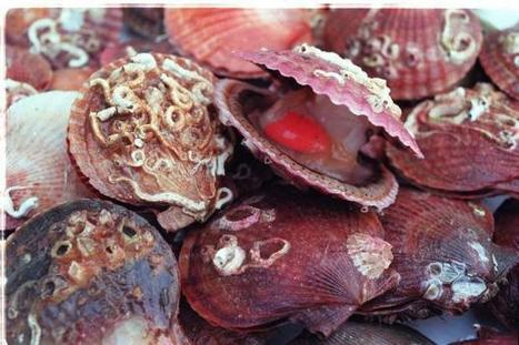 Fishermen face prosecution for illegal scallop dredging of Scottish seabed (From Herald Scotland) | All about water, the oceans, environmental issues | Scoop.it