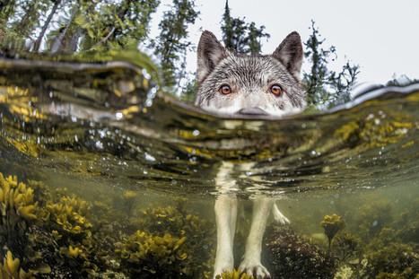 Deux manifestations contre les prélèvements de loups en janvier 2016 | Environnement et développement durable | Scoop.it