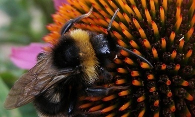 "Pesticides 'making bees smaller' / Les pesticides rendent les ""abeilles"" plus petites 