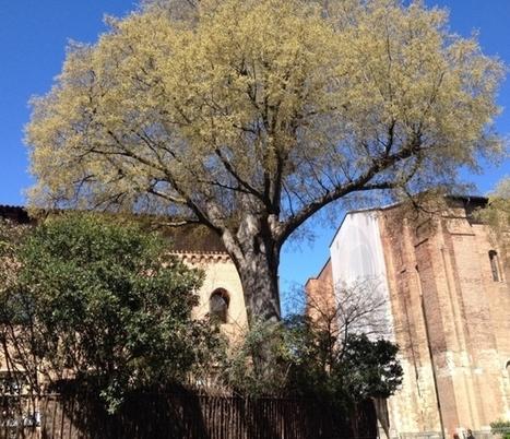 France Bleu | A Toulouse le micocoulier centenaire de Saint Sernin abattu | Musée Saint-Raymond, musée des Antiques de Toulouse | Scoop.it
