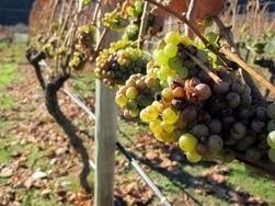 Le changement climatique va redessiner la carte mondiale des vins | Changement climatique, environnement & santé, risques | Géographie : les dernières nouvelles de la toile. | Scoop.it