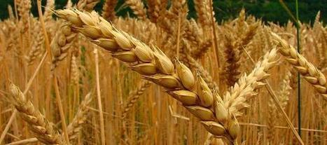 Aseguran que la demanda mundial de trigo crecerá un 60% en 2050 | Ingeniería en Molineria | Scoop.it