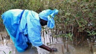 ST Louis: les populations de Dieul Mbame ont reboisé des ... | Mangroves | Scoop.it