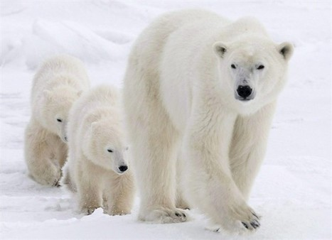 Climate change threatens to make polar bears dangerous; action needed:scientist | Climate change challenges | Scoop.it