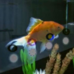These musical fish playing 'Hallelujah' will blow your mind — or not - msnNOW | Pets | Scoop.it