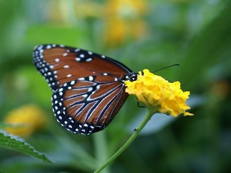Photo de lépidoptère : Papillon reine - Danaus gilippus - The Queen (butterfly) - Papillon exotique - Serre à papillons | Fauna Free Pics - Public Domain - Photos gratuites d'animaux | Scoop.it