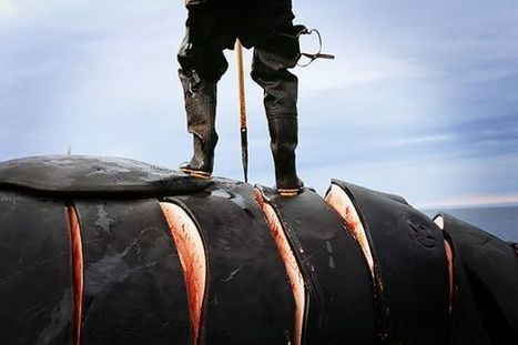 One More Reason the World Should Stop Eating Whale Meat: It's Filled With Pesticides | Marine Conservation and Ecology | Scoop.it