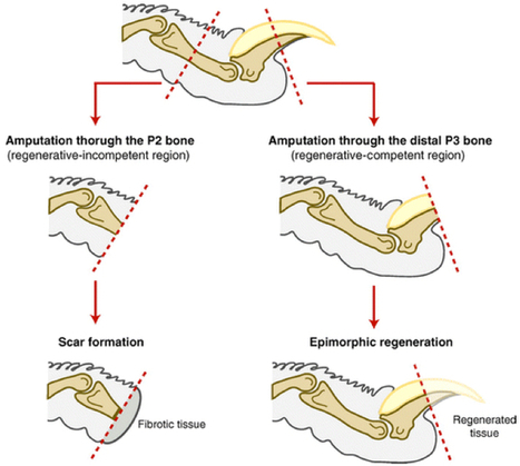 Could humans ever regenerate limbs? | KurzweilAI | Longevity science | Scoop.it