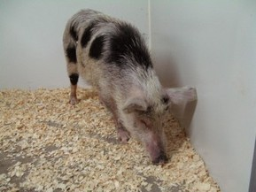 Four-Legged Islet Factories: The Pigs of Auckland Island | Insulin Nation | diabetes and more | Scoop.it