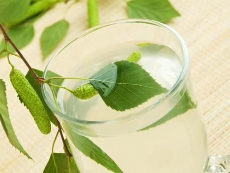 Coconut Water Is History: Taste The 5 Benefits Of Birch Tree Sap - Medical Daily | Zabeel International Web Pics | Scoop.it