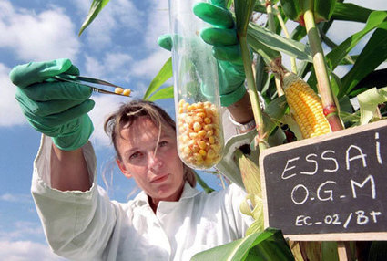 OGM : comment une étude bidonnée par Monsanto a été validée ... - Basta ! | Abeilles, intoxications et informations | Scoop.it