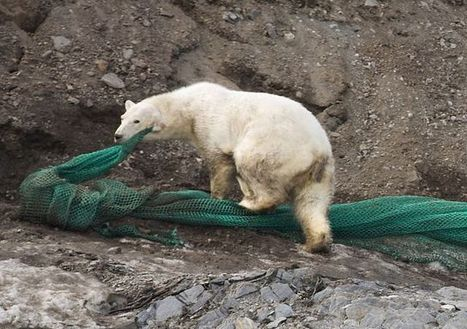 #Spitzberg #svalbard - Nos amis les #ours | Hurtigruten Arctique Antarctique | Scoop.it