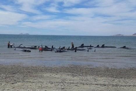 Mexique: 27 baleines s'échouent sur une plage, seules 3 survivent  | Environnement et développement durable | Scoop.it