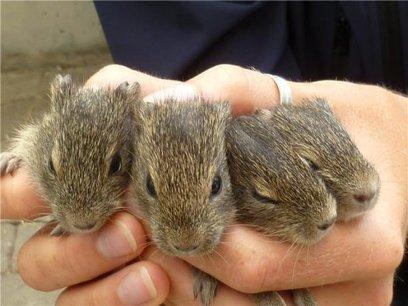 Like father like son: Epigenetics in wild guinea pigs   Genetics - GEG Tech top picks   Scoop.it