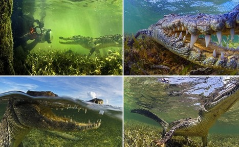 The moment a crocodile sneaks up on underwater photographer | All about water, the oceans, environmental issues | Scoop.it