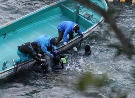 OUTRAGE: Bottlenose dolphins still being held in #Taiji Cove | OUR OCEANS NEED US | Scoop.it