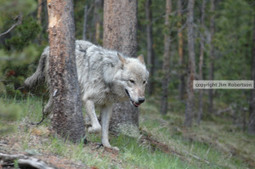 """Social Acceptance"" of Wolves has Disappeared in NE Washington 