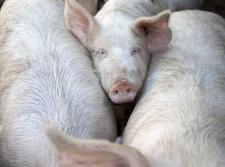 Russlandkrise: Copa fordert Hilfe für EU-Schweinefleischerzeugung   agrar   Scoop.it