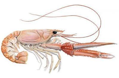 La langoustine et le parasitologue | EntomoScience | Scoop.it