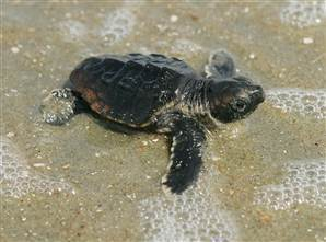 Baby sea turtle boom weathers most of Sandy's big surge | All about water, the oceans, environmental issues | Scoop.it