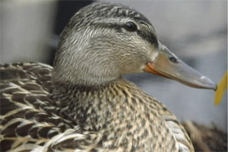 Pet duck attack prompts $275,000 lawsuit | enjoy yourself | Scoop.it
