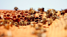 Apiculture is the Bee's Knees | All things Dominican Republic | Scoop.it