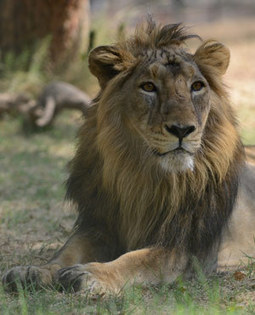 Zoo under fire for disguising dog as lion | Innovation and Execution and Other | Scoop.it