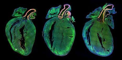 Identifican dónde nacen las nuevas células cardiacas - Noticias de Salud | abc.es | Legislación científica | Scoop.it