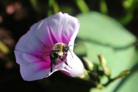 La sauvegarde des abeilles en bonne voie | apiculture 2.0 | Scoop.it