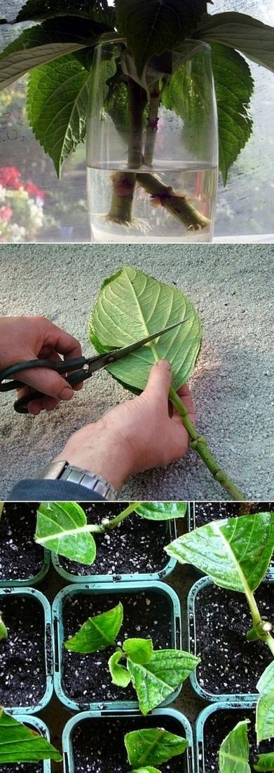 Grow Hydrangea From Cutting | Backyard Gardening | Scoop.it