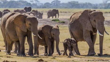 The ivory trade - still fueling poaching 25 years after a global ban | Pachyderm Magazine | Scoop.it