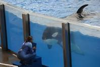Help Bring an End to Orca Captivity in California – Support AB 2140 | Animal Welfare Institute | Animals in Captivity | Scoop.it