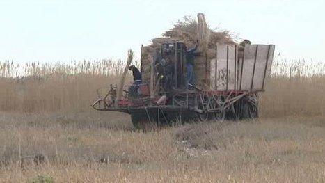 Fin de saison de la récolte de la sagne en petite Camargue gardoise - France 3 Languedoc-Roussillon | Camargue | Scoop.it