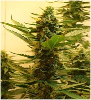 High supplies Cannabis Seeds | Highsupplies - An Online Cannabis Shop | Scoop.it