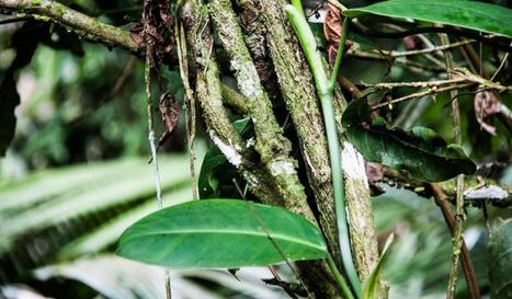 Chemical in Ayahuasca Has Potential to Treat Diabetes | Ayahuasca  アヤワスカ | Scoop.it