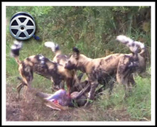 AMAZING VIDEO: African Wild Dogs Hunt Down A Swimming Antelope | Kruger & African Wildlife | Scoop.it