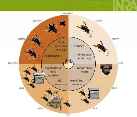 Vespa velutina – connaître avant d'agir | apiculture 2.0 | Scoop.it