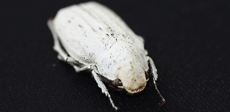 The Beetle That's Whiter Than Paper | IFLScience | Biomimicry | Scoop.it