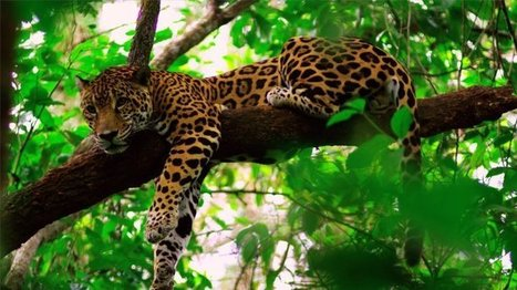 Cockscomb Basin Wildlife Sanctuary in Belize is internationally recognized as the world's first jaguar preserve | Belize in Photos and Videos | Scoop.it