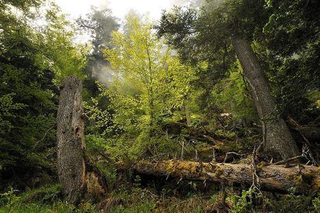 Eloge des vieilles forêts - Parc national des Pyrénées | économie et tourisme responsable | Scoop.it