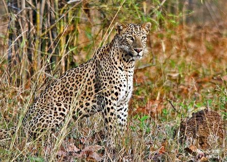 In search of Leopards | Oceans and Wildlife | Scoop.it