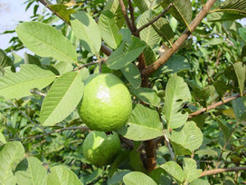 Amazing Health Benefits of Guava (Amrood) |HerbHealtH | Herbs and Health | Scoop.it