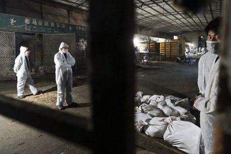 Opinion: Too Early to Panic Over Bird Flu | SJC Science | Scoop.it