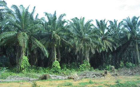 FG backs plantations owners to stop importation of palm oil | Food and Drink multinationals | Scoop.it