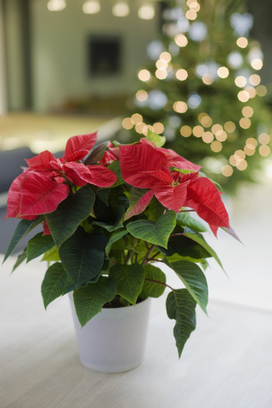 Keep your holiday plants happy with these three steps - Las Vegas Review-Journal | Gardening | Scoop.it