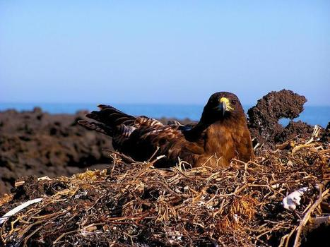 Galapagos hawks hand down lice like family heirlooms | Phys.org | CALS in the News | Scoop.it